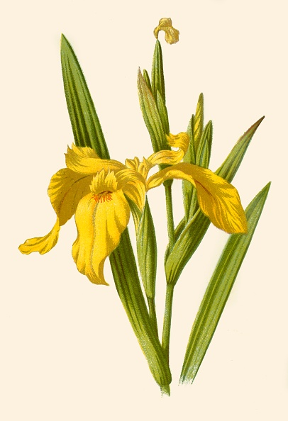 Uncultivated「Yellow Iris」:写真・画像(14)[壁紙.com]