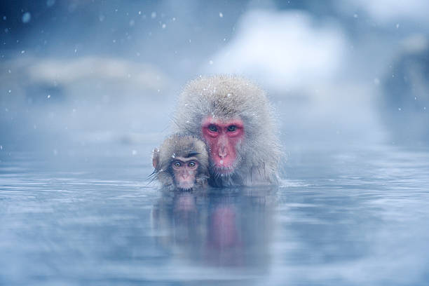 Two Japanese macaques (Macaca fuscata) in hot spring:スマホ壁紙(壁紙.com)