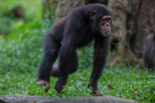 Walking「Male Chimpanzee youngster」:スマホ壁紙(17)