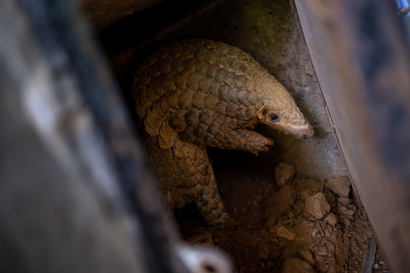 Animal Wildlife「Wildlife Conservationists Save The Pangolins From Illegal Trade In Vietnam」:写真・画像(6)[壁紙.com]