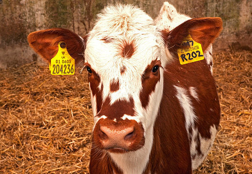 Isle of Man「Young Heifer Dairy Cows displaying identity 'Pass Port' trackable ear tags」:スマホ壁紙(18)