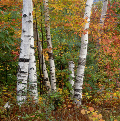 Aspen Tree「Aspen (Populus tremula) in autumn」:スマホ壁紙(5)