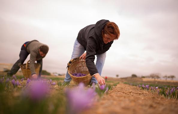 Saffron「Saffron Harvest In Castilla La Mancha Region」:写真・画像(11)[壁紙.com]