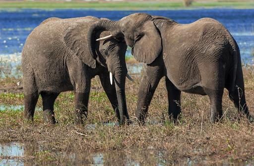 象「Elephants greet each other, Chobe National Park, Botswana」:スマホ壁紙(14)