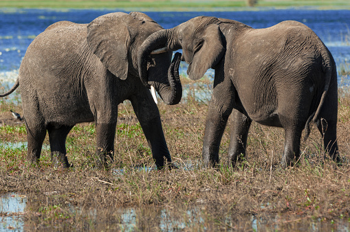 象「Elephants greet each other, Chobe National Park, Botswana」:スマホ壁紙(9)