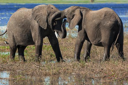Elephant「Elephants greet each other, Chobe National Park, Botswana」:スマホ壁紙(19)