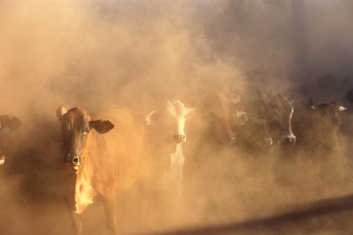 Queensland「Dusty cattle muster, Front view, Cape York Peninsula, Australia」:スマホ壁紙(17)