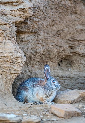 うさぎ「Cottontail Rabbit (sylvilagus) resting by den in desert area with rock formation, Lincoln County, Wyoming, USA」:スマホ壁紙(16)