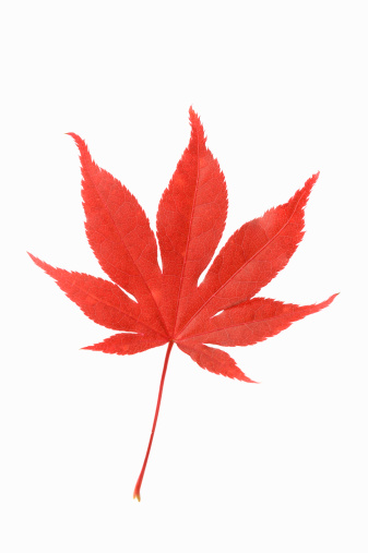 Japanese Maple「One red leaf of Janpanese Maple (Acer palmatum)」:スマホ壁紙(16)