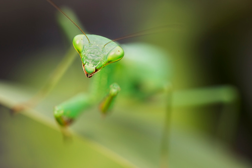 虫・昆虫「South Afican Praying Mantis ( Miomantis caffra )」:スマホ壁紙(18)