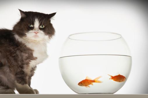 Carp「Cat by Fishbowl」:スマホ壁紙(10)