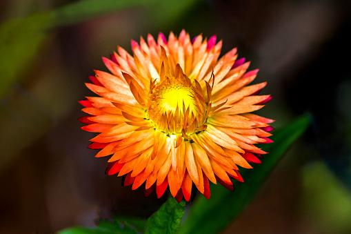 flower「Everlasting flower」:スマホ壁紙(7)