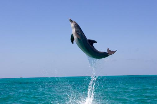 Skill「Atlantic bottlenose dolphin (Tursiops truncatus) jumping above ocean」:スマホ壁紙(2)