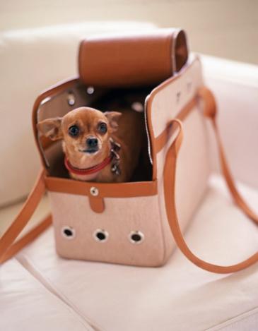 Purse「Chihuahua in doggie carrier」:スマホ壁紙(11)