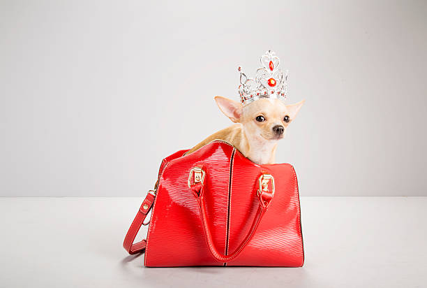 chihuahua inside red hand bag, wearing tiara:スマホ壁紙(壁紙.com)