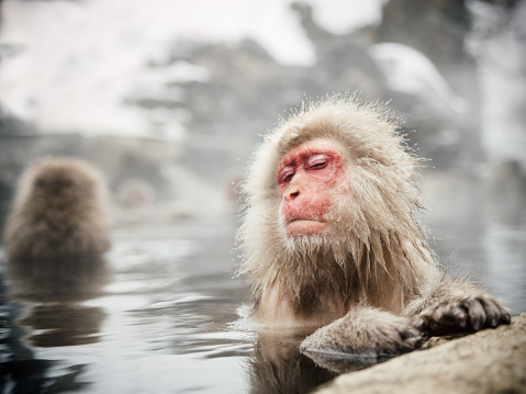 Japanese Macaque「Snow monkeys soaking in hot spring」:スマホ壁紙(3)