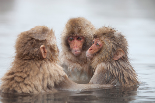 Japanese Macaque「Snow Monkeys in Onsen」:スマホ壁紙(12)
