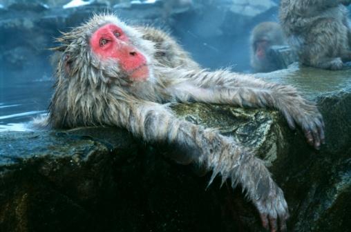 Animal Arm「Snow monkey/Japanese macaque soaks in a hot spring, arms hang over rock ledge. Macaca fuscata. Japan」:スマホ壁紙(18)