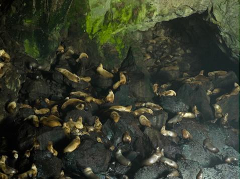 Sea Lion「Sea lion caves by Oregon coastline」:スマホ壁紙(18)