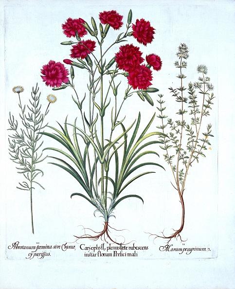 カーネーション「Carnation」:写真・画像(10)[壁紙.com]