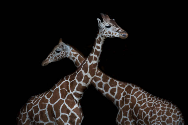 Two reticulated giraffes in front of black background:スマホ壁紙(壁紙.com)