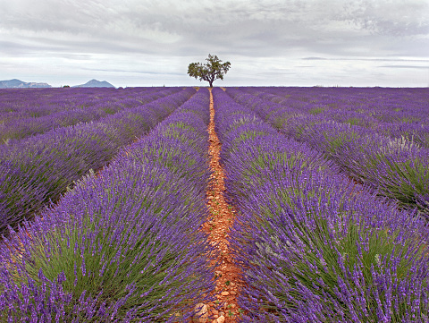 French Lavender「Provence」:スマホ壁紙(6)