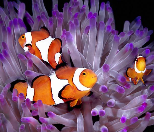 Fish: Tropical saltwater, clownfish, anemonefish (Amphiprion Ocellaris):スマホ壁紙(壁紙.com)