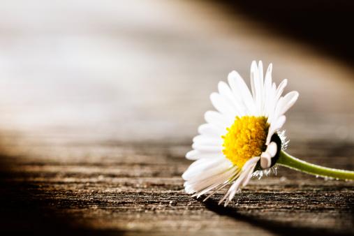 Care「Sunray on Flower - Daisy Nature Poem Postcard」:スマホ壁紙(2)