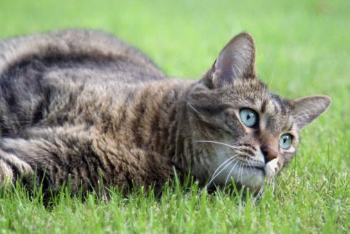 Mixed-Breed Cat「Alert cat lying in the grass」:スマホ壁紙(19)