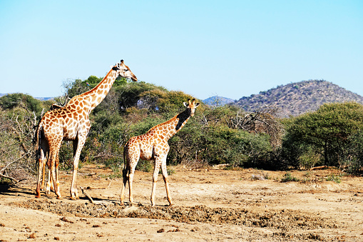 South Africa「Adult giraffe and youngster  in the Madikwe Game Reserve in South Africa」:スマホ壁紙(2)