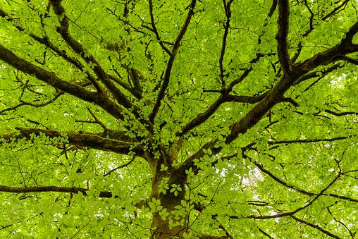 Single Tree「Fresh leaves of a mossy beech tree, Fagus sylvatica,  in the spring, Cairndow, Scotland, United Kingdom」:スマホ壁紙(9)