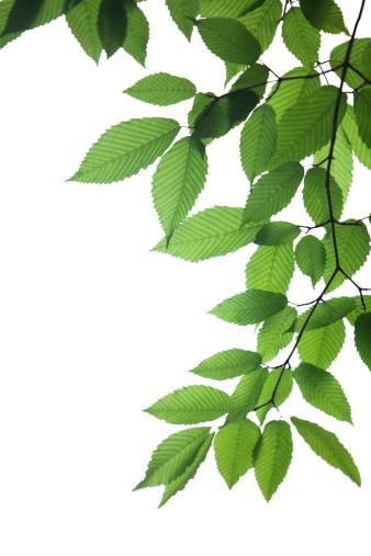 Branch「新鮮な葉」:スマホ壁紙(7)