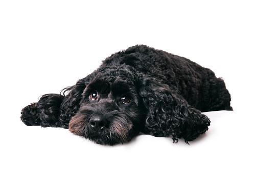 Spaniel「What a dog day...」:スマホ壁紙(9)