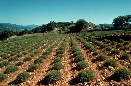 1980-1989「Field of Thyme in Provence」:スマホ壁紙(10)