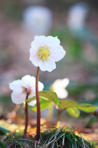 Hellebore「Hellebore Flowers」:スマホ壁紙(4)