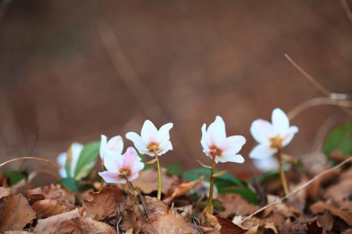 Hellebore「Hellebore Flowers」:スマホ壁紙(9)