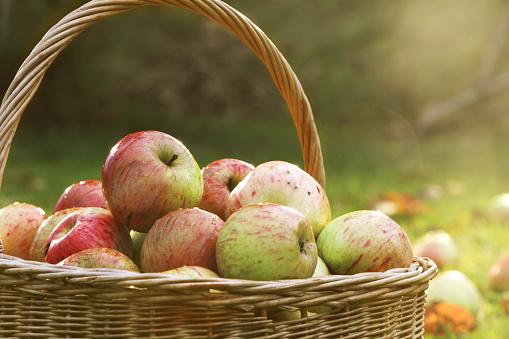秋「Basket of freshly picked apples」:スマホ壁紙(15)