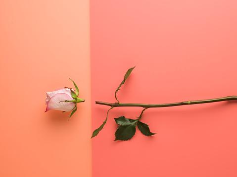 Love - Emotion「Cut up pink roses lying on a split tone background」:スマホ壁紙(3)