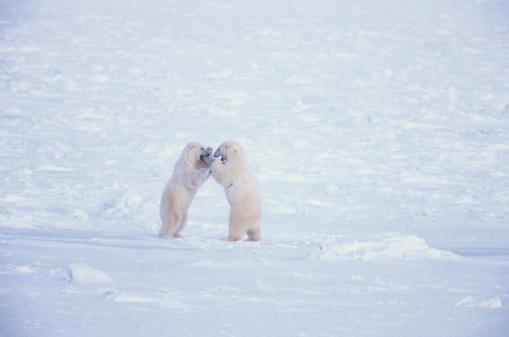 野生動物「Pair of polar bears (Ursus maritimus) play fighting, Canada」:スマホ壁紙(17)