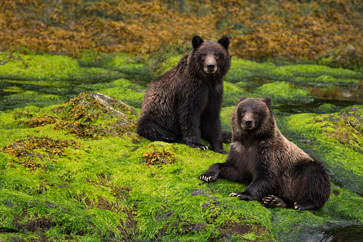Bear Cub「Two grizzly cubs sit in a green rainforest」:スマホ壁紙(5)