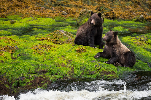 Bear Cub「Two grizzly bears in mossy rainforest」:スマホ壁紙(2)