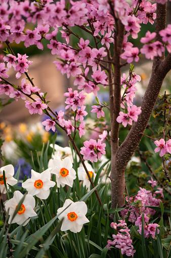 水仙「Flowering Pink Peach Tree and White Daffodils」:スマホ壁紙(7)