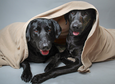 Blanket「Two labrador retrievers hiding under a blanket」:スマホ壁紙(16)