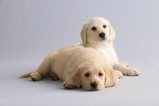 Full Length「Two Labrador puppies」:スマホ壁紙(8)