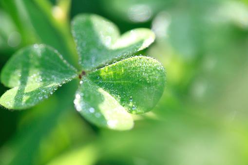 Wood Sorrel「Dew drop on a leaf」:スマホ壁紙(9)
