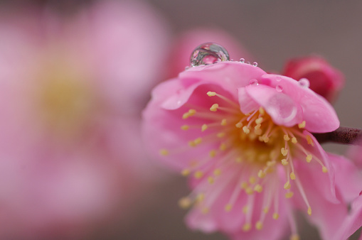 梅の花「Dew drop on plum blossom, Close-up, Kanagawa Prefecture, Honshu, Japan」:スマホ壁紙(3)