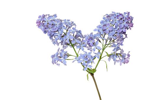 Lilac「Lilac (Syringa) against white background.」:スマホ壁紙(16)