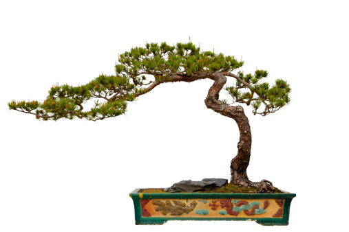 Branch - Plant Part「Pinus massoniana (Masson's Pine) bonsai」:スマホ壁紙(3)