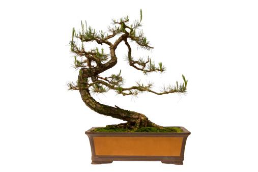 Planting「Pinus massoniana bonsai」:スマホ壁紙(9)