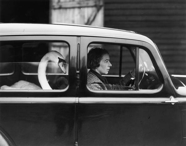 動物「Swan In A Car」:写真・画像(4)[壁紙.com]